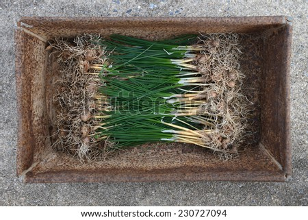 Saffron bulbs - stock photo