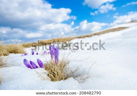 saffron crocus first spring flower closeup between melting snow. wide shoot - stock photo