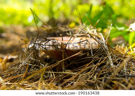 Saffron milk cap (Lactarius deliciosus) in a pine forest. - stock photo