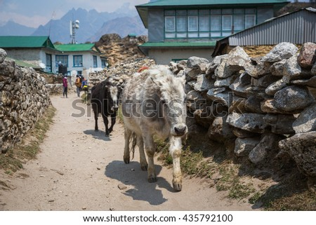 SAGARMATHA, NEPAL-APRIL 28: Yaks on the hiking trail, 2016 in Sagarmatha, Nepal. Yaks on the tourist trail to the Everest base camp
