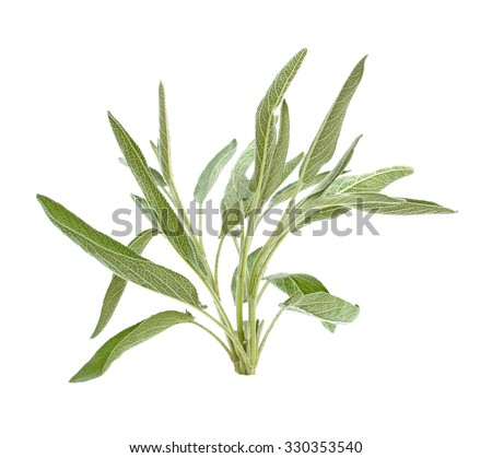 Sage branch isolated on a white background - stock photo