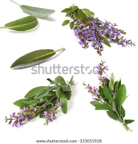 Sage collection, isolated on white.  Fresh herbs, leaves and sprigs, with purple flowers. - stock photo