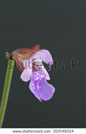 Sage flower - stock photo
