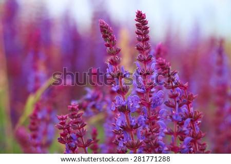 Sage flowers, Salvia officinalis - stock photo