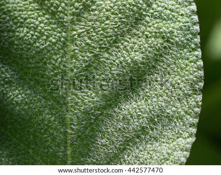 sage growing in the garden - stock photo
