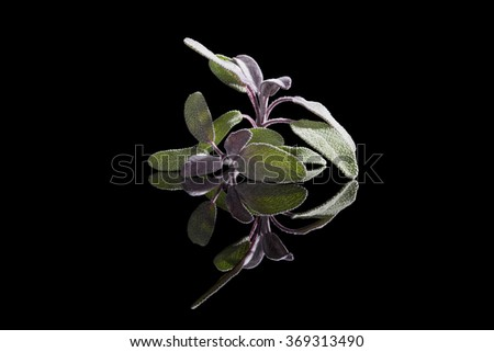 Sage herb isolated on black background. Culinary herb, alternative medicine.  - stock photo