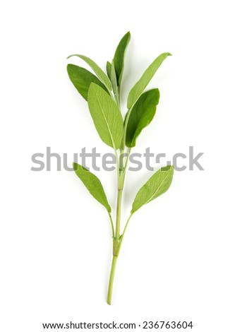 sage isolated on white - stock photo