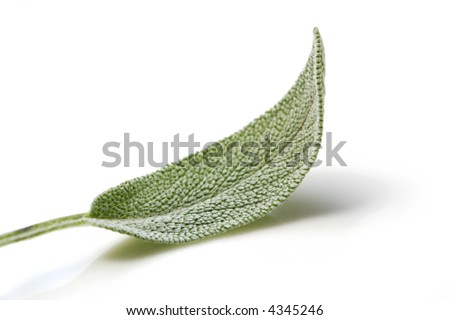 Sage leaf, reflected on white surface.  Fresh-picked from my herb garden.