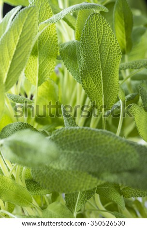 Sage Plant as detailed full frame close-up shot - stock photo