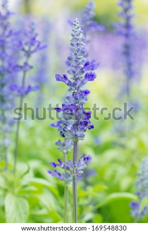 Sage plant (lat. Salvia Officinalis). Background made from healing herbs - stock photo