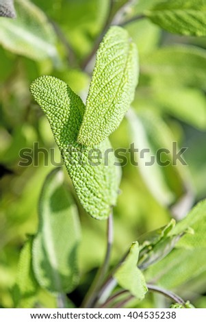 sage, Salvia officinalis with leaves - stock photo