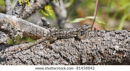 Sagebrush lizard soaking up sun on thick pine branch