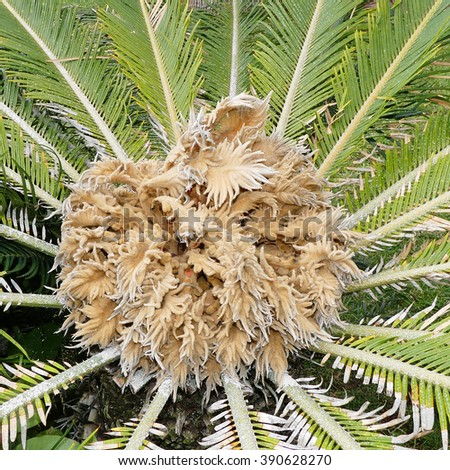 Sago Palm with Female Cone,Tenerife island - stock photo