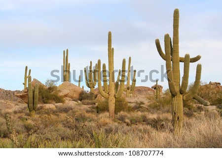 Saguaro cacti in the Sonoran Desert - stock photo