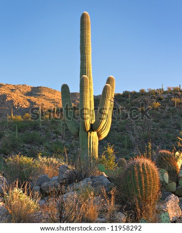 Saguaro Cactus - stock photo