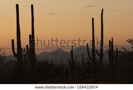 Saguaro Cactus against vivid sunset in Tucson, Arizona - stock photo