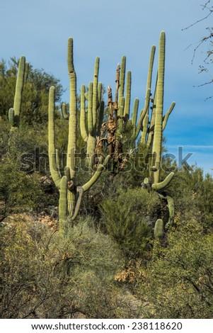 Saguaro Cactus at Catalina State Park in Tucson Arizona - stock photo