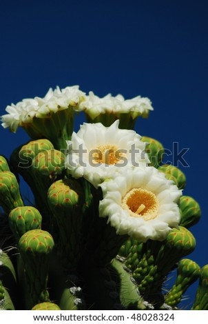 Saguaro cactus flowers - stock photo