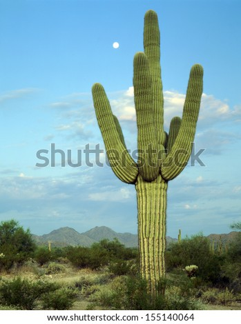 Saguaro cactus living on the Sonoran desert in Arizona, a hot and arid climate./Saguaro Cactus/ The largest cactus in the world, the saguaro surviving on less than nine inches of rain each year.  - stock photo