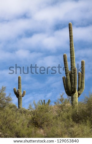 Saguaro Cactus on Hill Side with Blue Sky with White Clouds