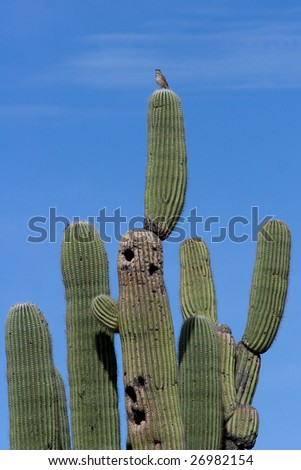 Saguaro cactus with bird perched on top