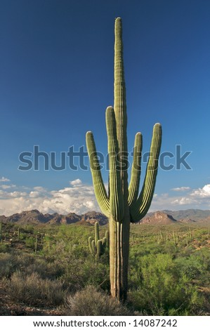 Saguaro in beautifull Sonoran Desert.
