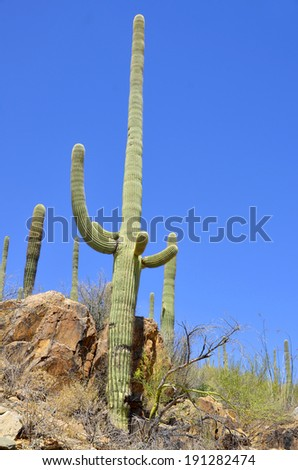 Saguaro National Park, located in southern Arizona, is part of the United States National Park System. The park is divided into two sections  Both districts conserve fine tracts of the Sonoran Desert - stock photo