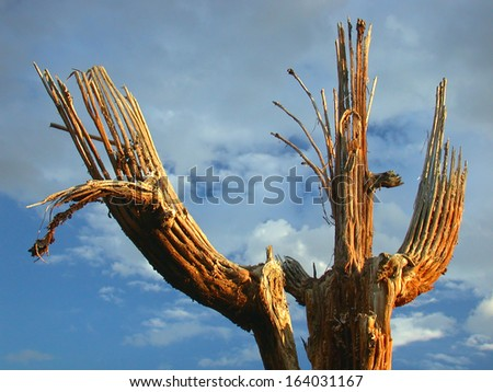 Saguaro skeleton with three arms