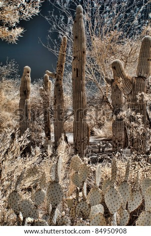 Saguaros and prickly pear cactus in the verdant desert - stock photo
