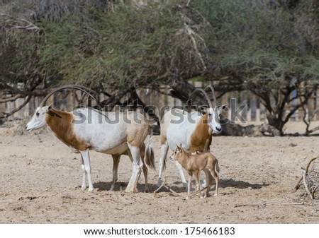 Sahara Oryx (Oryx leucoryx) in National Biblical Hai-Bar nature reserve, 35 km north of Eilat, Israel
