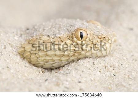 Saharan sand viper / Cerastes vipera - stock photo