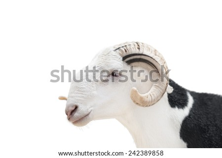 Sahelian Ram with a white and black coat, isolated   - stock photo