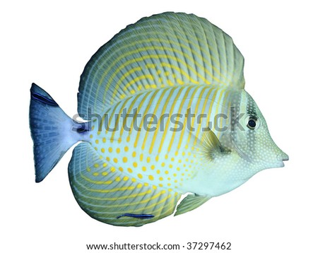 Sailfin fish isolated on white background