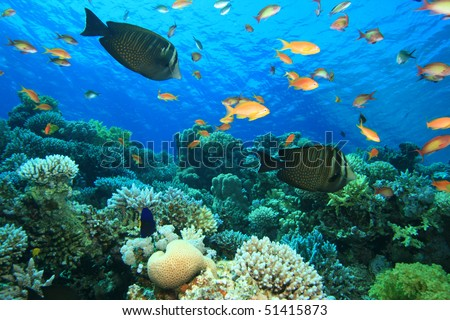 Sailfin Tang (Zebrasoma desjardinii) amongst other tropical fish on a coral reef