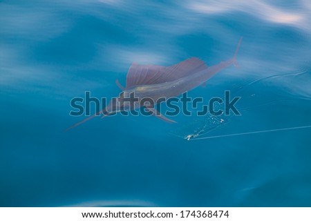 Sailfish sportfishing close to the boat with fishing line under surface - stock photo