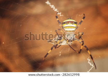 Saint Andrew's Cross spider (Argiope) eating butterfly on its web. - stock photo