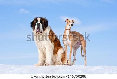 Saint bernard and greyhound on the hill - stock photo