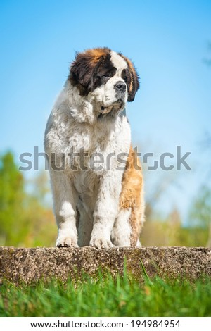 Saint bernard dog - stock photo