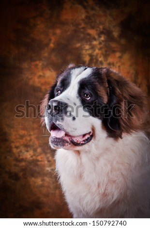 Saint Bernard dog, big, slobbery, furry, docile