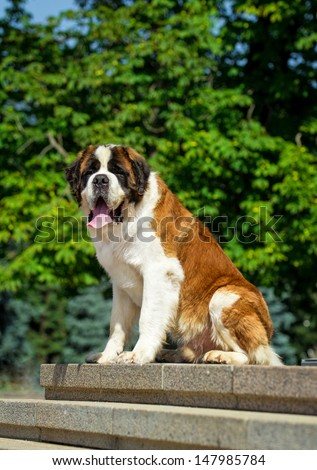 Saint bernard dog sitting on the stairs - stock photo
