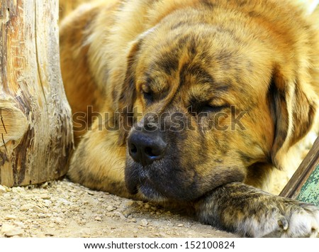 Saint Bernard dog sleeping - stock photo