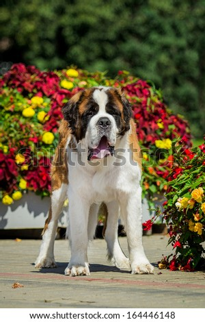 Saint bernard dog standing near flower bed - stock photo
