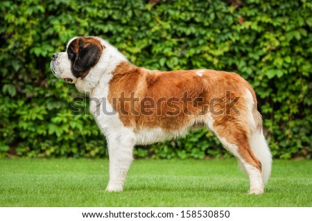 Saint bernard dog standing on the lawn - stock photo