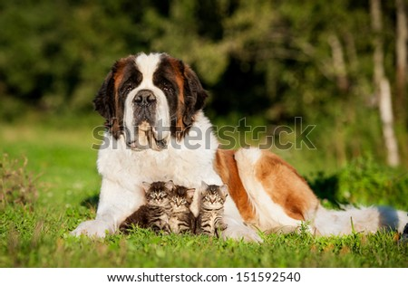 Saint bernard dog with little kittens - stock photo