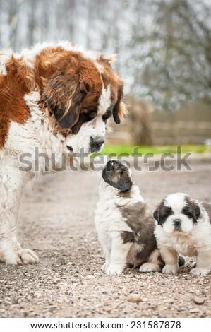 Saint bernard dog with puppies - stock photo