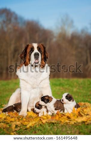 Saint bernard dog with puppies in autumn - stock photo