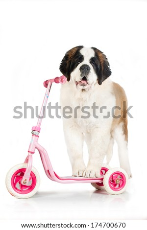 Saint bernard dog with scooter isolated on white background - stock photo