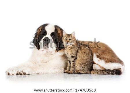 Saint bernard dog with tabby cat isolated on white background