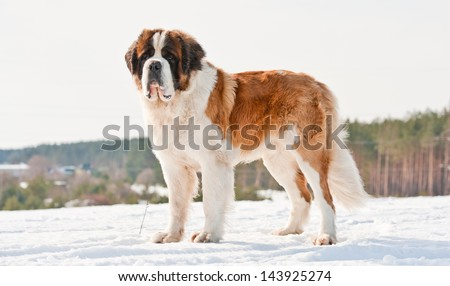 Saint bernard in winter