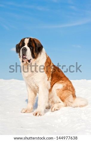 Saint bernard in winter - stock photo